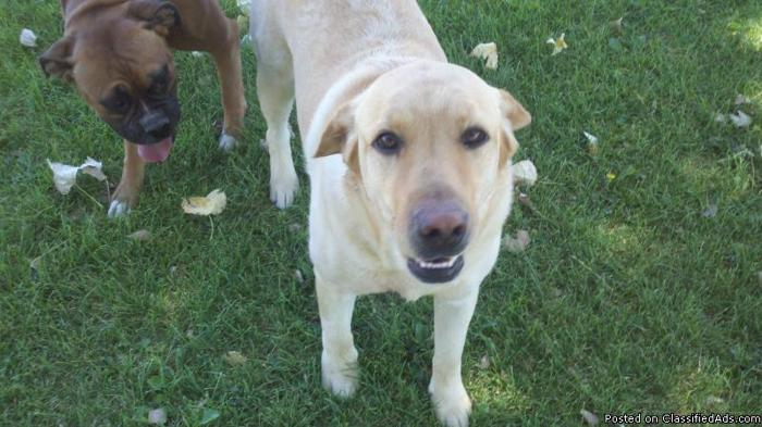 Free 3 Year old neutered yellow lab to loving home - Price: free