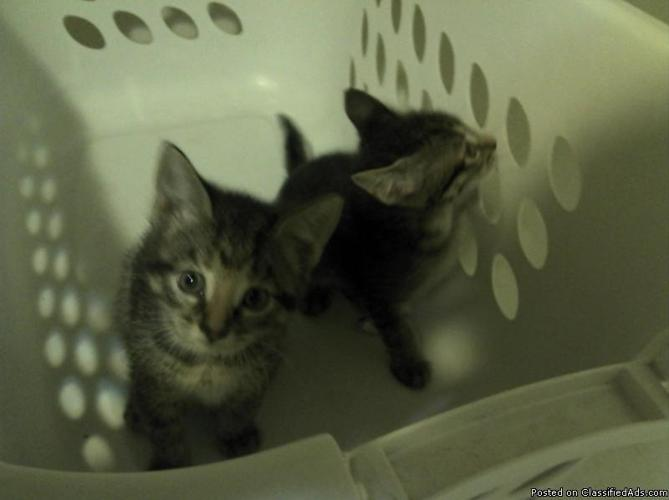 Free Kittens - Price: Free