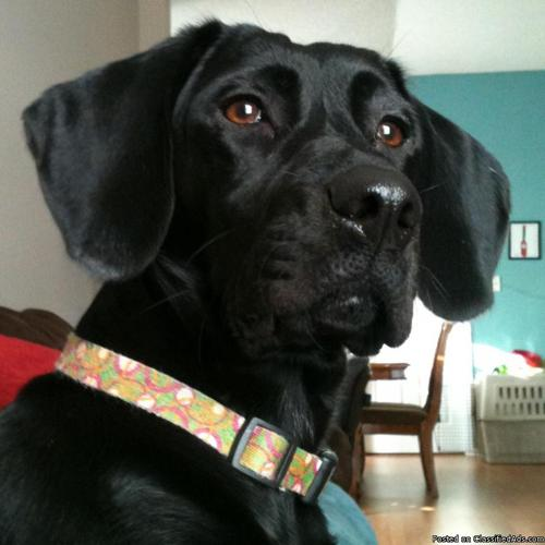Free Lab Mix to Good Home