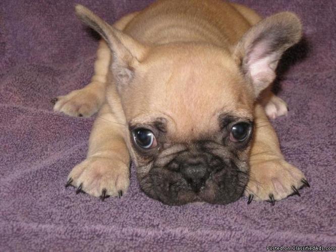 French Bulldog puppies! - Price: 1400