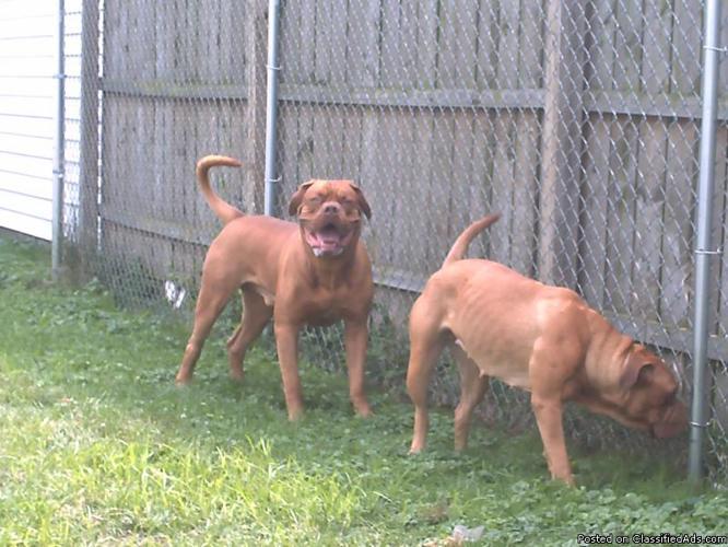 French mastiff or bull mastiff puppies for sale with kci in kolkata