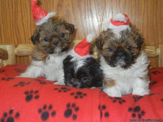 Friendly AKC Shih-Tzu pups for sale! - Price: 500 for sale
