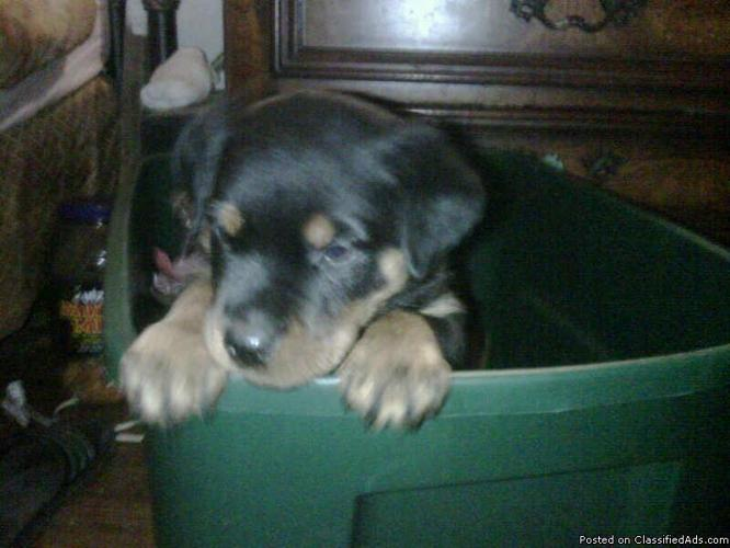 German Rottweiler Puppies For Sale Freehold New Jersey Price