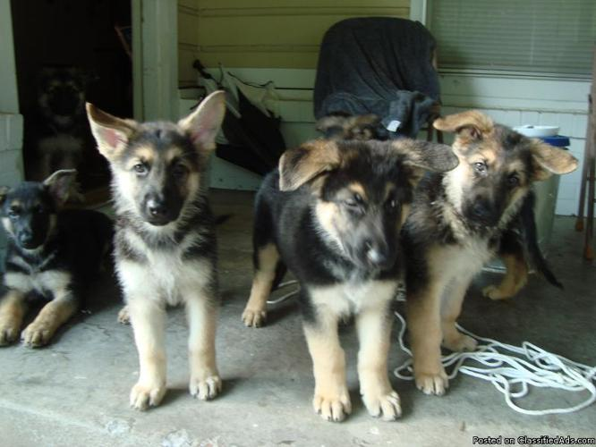 German Shepherd Puppies for Sale - Price: 250 00 for sale in Haltom