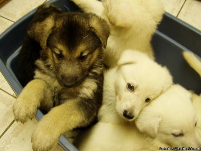 German Shepherd Puppies Full Blood Not Registered Price 15000