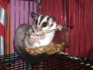 Girl Sugar Glider (SW Brair Forest) - Price: 380.00