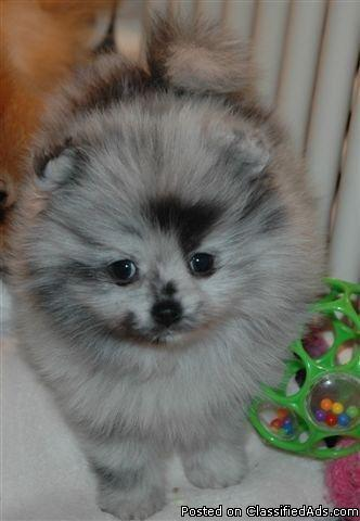 Gold Baby pomeranian puppies for sale - Price: 200