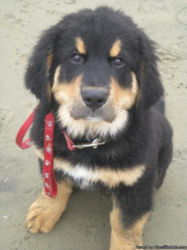 Golden Bernese Mountain Dog Puppies - Price: 1,000