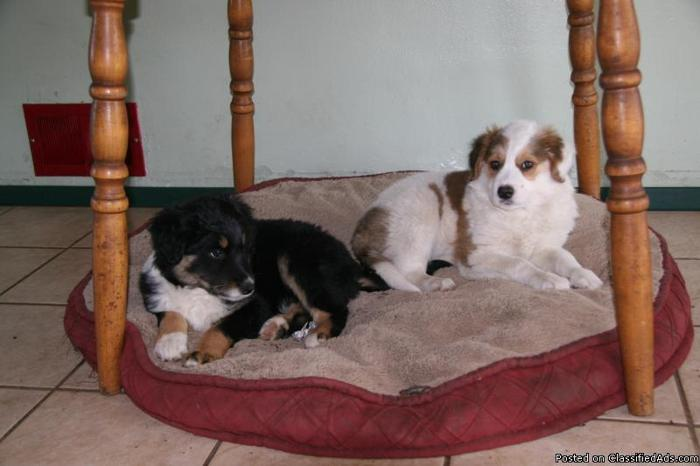 Golden Retriever Border Collie Mix Price 225 Each For Sale In
