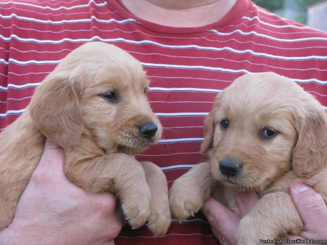 GOLDEN RETRIEVER PUPPIES FOR SALE - Price: $450.00