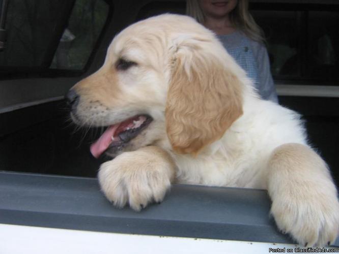 Golden Retriever Puppies - Price: 350.00