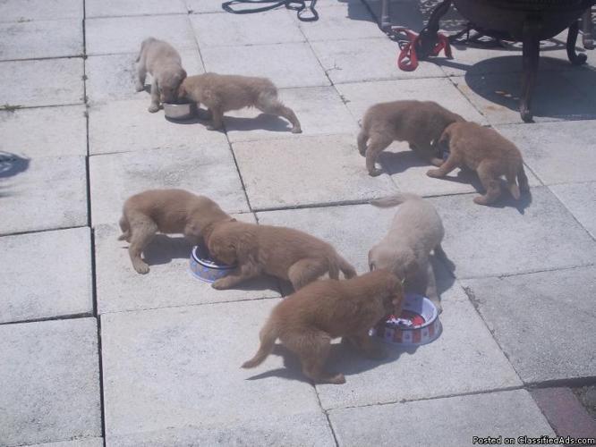 Golden Retriever Puppies - Price: $350 for sale in Port
