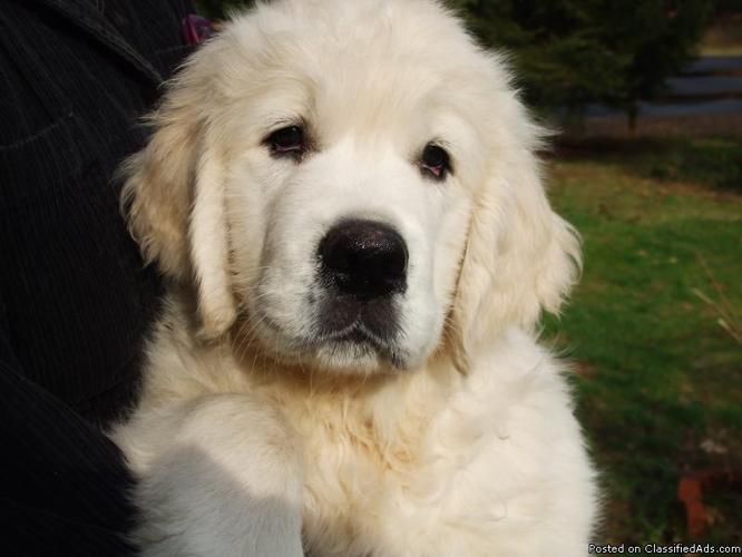 Golden retriever adoption rochester ny