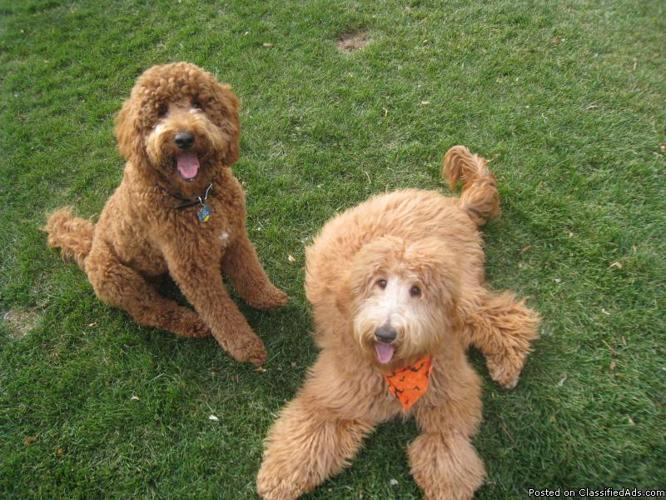 Goldendoodle F1b Medium Size Unusual Red Color Price 800