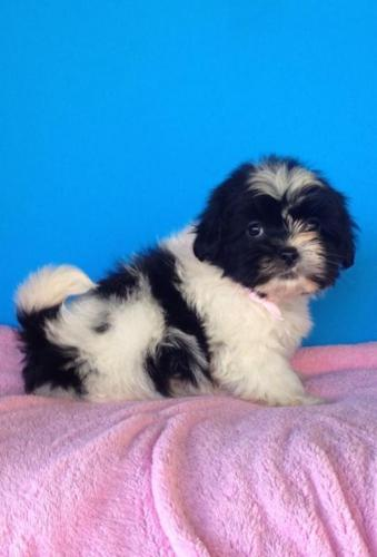 Golden/LIver Imperial(teacup) Shih Tzu Puppies for sale in