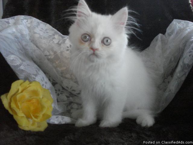 GORGEOUS FLUFFY MALE PERSIAN KITTEN - Price: 350.00