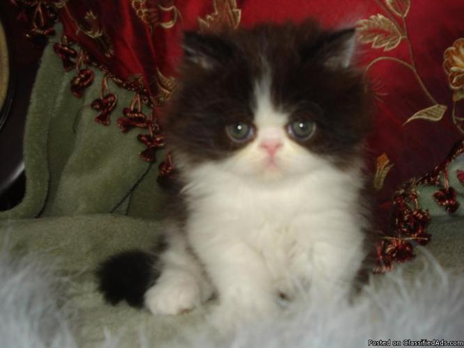GORGEOUS PERSIAN MALE KITTEN
