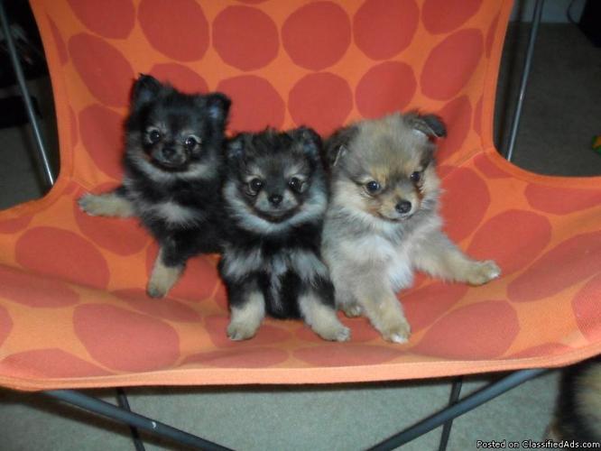 Gorgeous Pomeranian Puppies- 8 Weeks Old - Price: $550