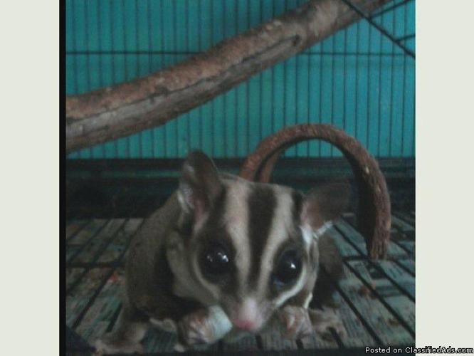 Gorgeous Sugar Gliders Need Loving Home - Negotiable :)