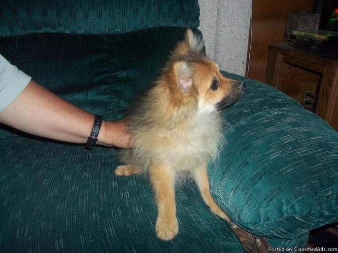 Gorgeous Wolf Sable Pomeranian Puppy $300 - Price: $300 00 for sale