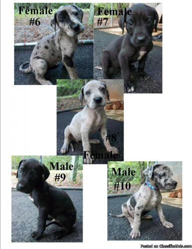 Great Dane Puppies - Price: 500 OBO