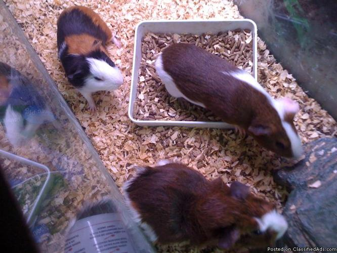 Guinea Pigs For Sale Price 10 00 Each For Sale In Newell Alabama Best Pets Online
