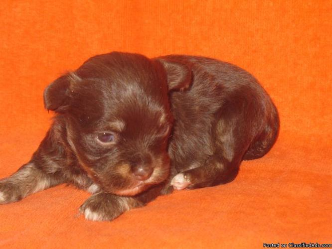 Havanese Puppies, AKC Champion Lines - Price: 1200 00 for