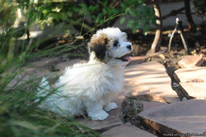 Havanese Puppy Price 1500 For Sale In Bountiful