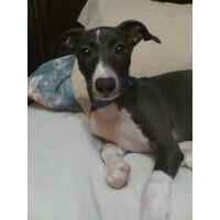 HAVE YOU RECENTLY BOUGHT ITALIAN GREYHOUNDS HERE