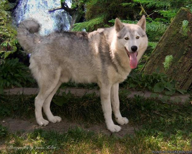 High Content WolfDog Babies Cross Wolf - Price: 650