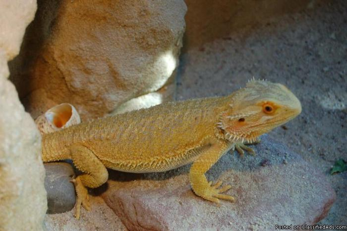 High quality bearded dragons - Price: OBO for sale in Colorado