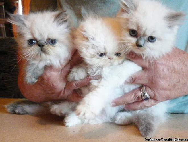 HIMALAYAN PERSIAN KITTENS 8 WEEKS - Price: $400 for sale in San Diego ...