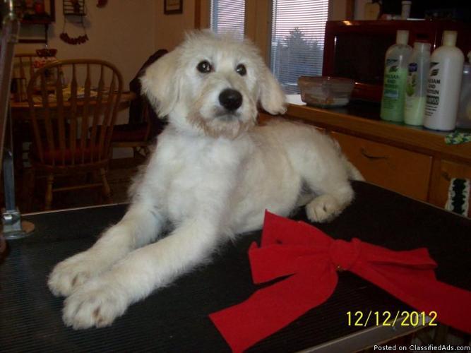 Hoiday Puppies, F1 Shepadoodle, CKC - Price: $350
