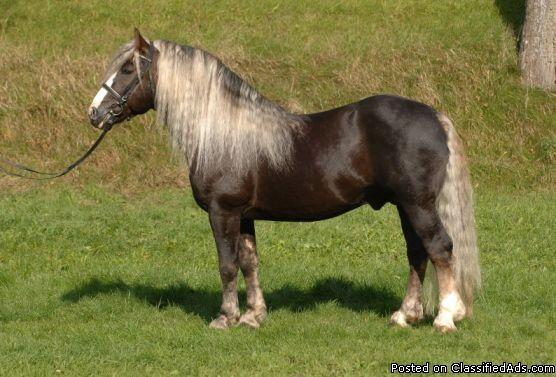 horse/pony - mom riding = small and stocky - Price: under $5000.00