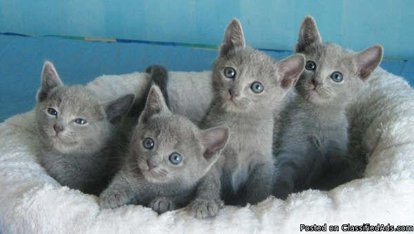 Russian Blue Kittens For Sale 19