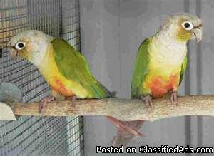 I want to buy 1 pair of young adult green cheek conures 2-4 years old - Price: $150.00
