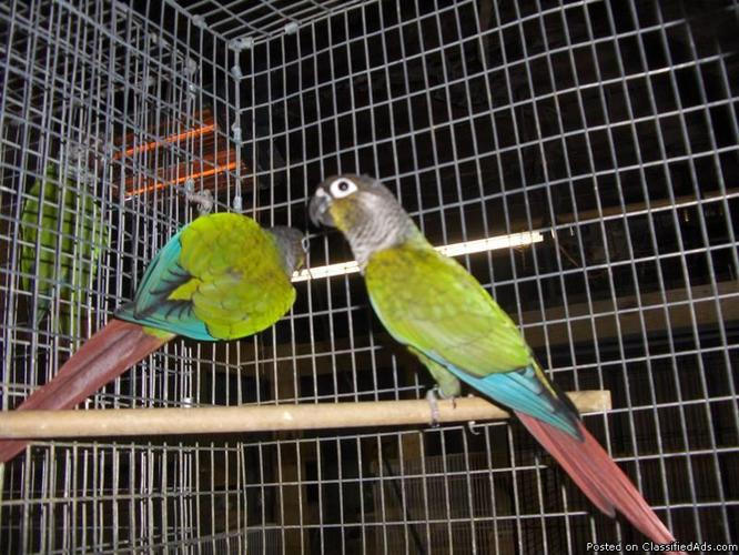 I want to buy or rehome a pair of turquoise green cheek conures 2 or 3 years old - Price: $175.00