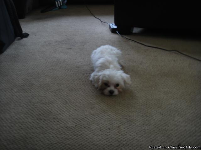 im looking for a male maltese between 8 month or more. - Price: cantac me