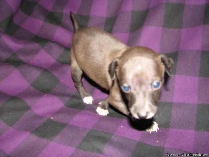 Italian Greyhound Puppies Ckc Registered Price 350