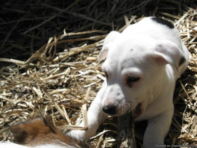 Jack Russell Terrier Puppies - Price: $150-$175