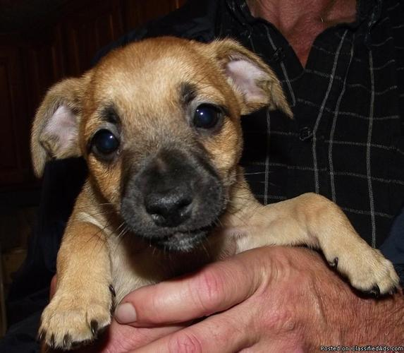 Jack Russell/Terrier Mix Puppies - Price: Free for sale in Fall