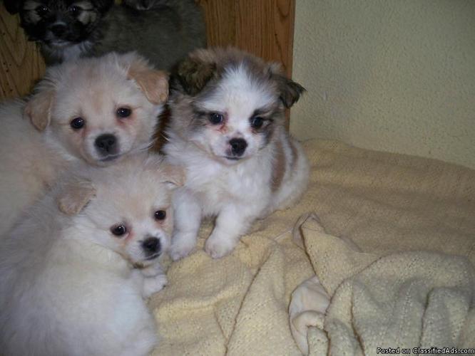 Kimola Puppies Lhasa Apsoxminiature Amercan Eskimo Price