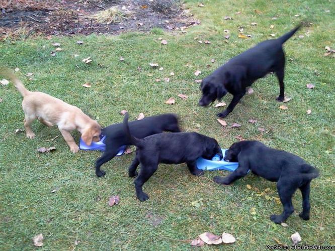 Labrador puppies - Price: 400 or trade