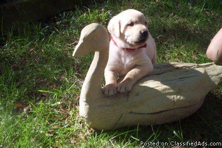 Labrador Retriever Puppies - Price: $800