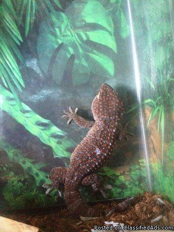 Large Female Tokay - Price: 25 for her 50 w/cage