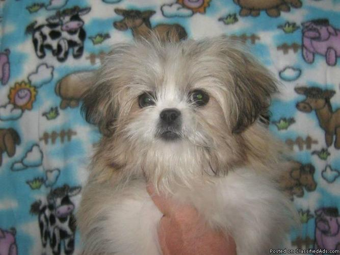 Little IMPERIAL Shih-tzu, Non-shedding and Hypo-allergenic - Price: 400