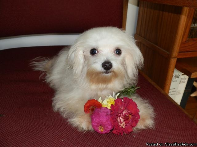 Little MALTESE Puppies, 8 months old - Price: 425