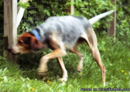 LOST Coonhound Heeler mix REWARD