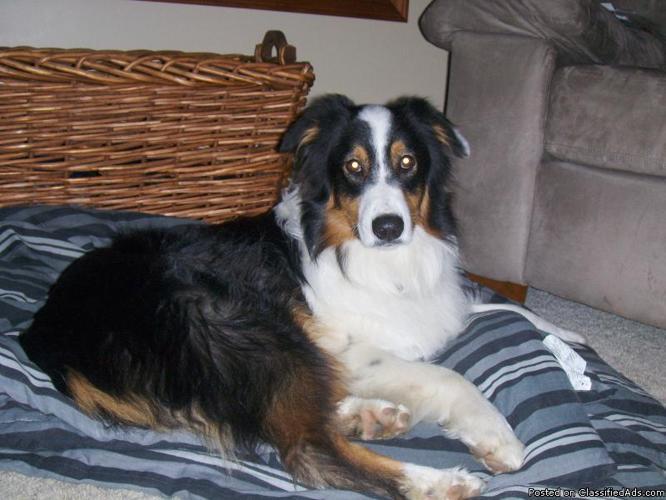 LOST DOG: Australian Shepherd - Price: REWARD!