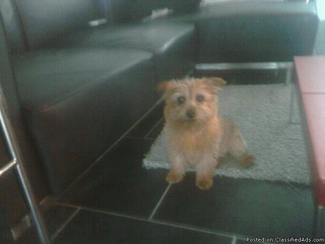 Lost small brown terrier, Slidell. Reward 500